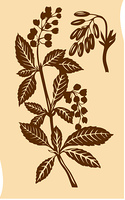 illustration of the plant of the barberry