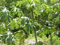 Papaya tree fruits growing in tropical jungle Central America