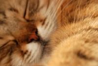 Sleeping cat. Head - not sharp. Focus on  paw.