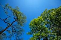 Green trees against deep blue sky.