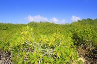 Mangrove plant detail in sunny day blue sky Mayan Riviera Mexico