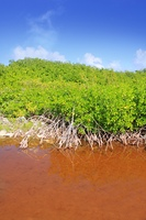 Mangrove plant red water and aerial roots blue sky Mayan Riviera Mexico