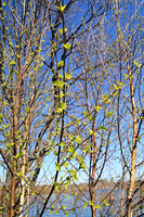 spring birch of the branch