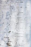 Birch bark texture or background.
