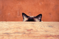 Pretty cat is hiding behind a table, only his ears are visible
