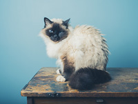 A pretty Birman cat is sitting on a wooden desk