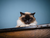 A Birman cat is sitting on a desk with a grumpy look on his face