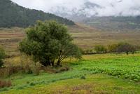 Trees in a field, Phobjikha Valley, Bhutan