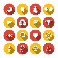 Human organs icons set of heart kidney  isolated vector illustration