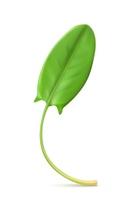 Fresh green leaf sorrel, vector illustration