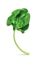 Fresh green leaf spinach, vector illustration