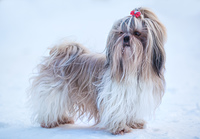 Shih tzu dog winter portrait