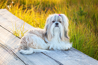 Shih-tzu dog lying on wooden path at countryside.