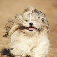 Shih tzu dog fast running front view