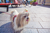 Shih-tzu dog walking in europe city.