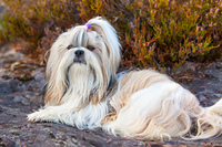 Shih-tzu dog lying on ground portrait.