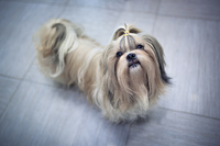 Shih tzu dog in home interior. Asking for something to eat.