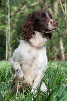 Liver and white springer spaniel portrait