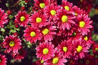 purple chrysanthemum