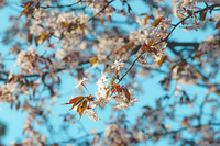 Flower bunches of the cherry blossoms tree on a sunny spring day, selective focus with blurred background