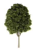 common ash tree isolated on white background. 3d illustration