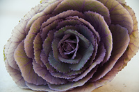 An Ornamental Cabbage