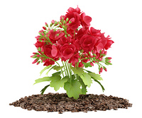 red geranium flowers isolated on white background. 3d illustration