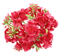 top view of red geranium flowers isolated on white background. 3d illustration