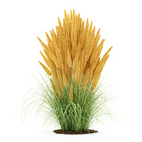 ornamental grass plant isolated on white background. 3d illustration