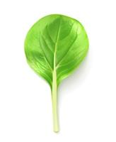 Green leaf of salad, vector