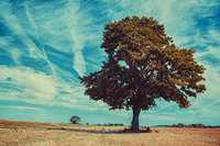 Big lonely tree on autumn field on blue sky background