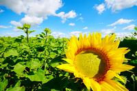 Sunflower green field under cloudy summer sky