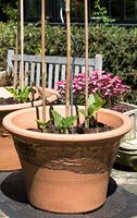 Runner beans growing in pots in garden
