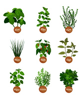 Basil and mint, sage and chile spices collection vector illustration, thyme and parsle, chives and oregano rosemary plant aroma greenery spices set. Basil and Mint, Sage and Chile, Spices Collection