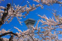 五稜郭タワーと五稜郭公園の満開の桜