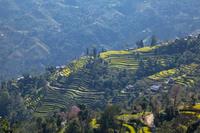 ナガルコット村の段々畑