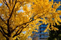銀杏の黄葉美しい横浜界隈