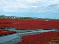 サンゴ草(能取湖)