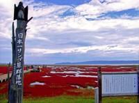 能取湖のサンゴ草群集地