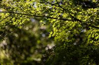 カエデの葉
