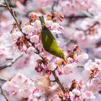 2015 Sakura and White-eye