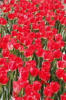チューリップ 花