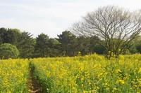 菜の花畑と里山