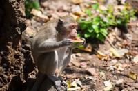 スイカを食べる猿
