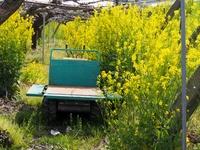 放置された果樹園に咲く菜の花