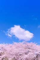 桜とわた雲