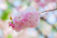 桜 八重紅虎の尾