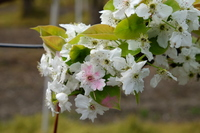 4月の梨園・人工受粉後、花粉でピンク色に染まった梨の花