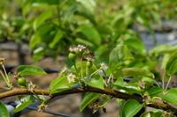 4月の梨園・花から果実へ
