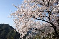 満開の桜と山並み